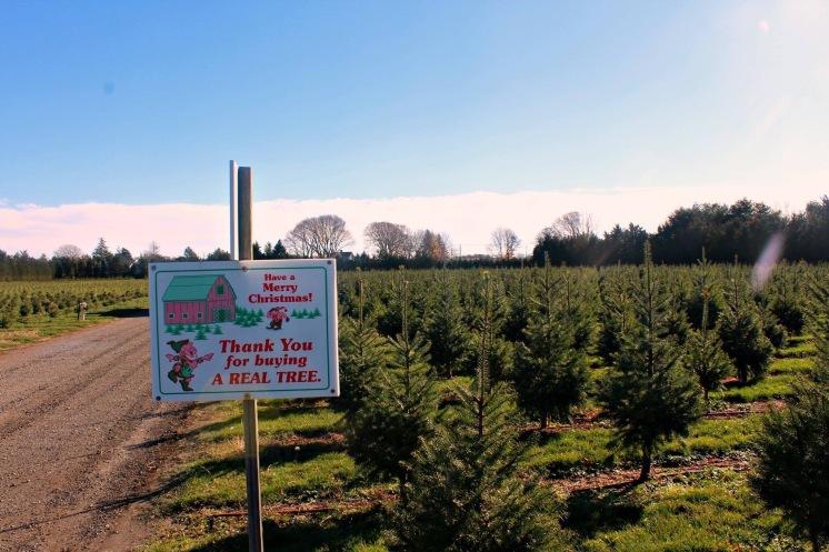 Shamrock tree farm, Mattituck LI