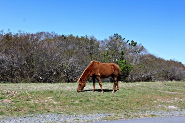 wild ponies @ Assateague Island