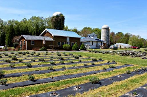 lavender Fields, DE